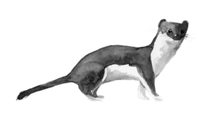 weasel-cut-out-300x183